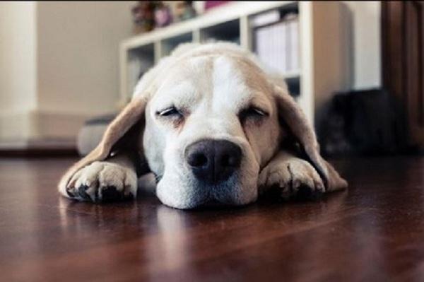Bürohund Oscar